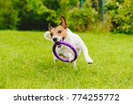 Stock photo adorable pet dog playing with toy at green grass lawn at back yard 774255772