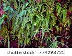 green fern plant in darjeeling... | Shutterstock . vector #774293725