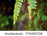 green fern plant in darjeeling... | Shutterstock . vector #774293728