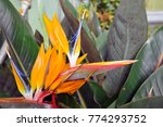 different flowers in darjeeling ... | Shutterstock . vector #774293752