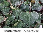 Fresh Frost Forms On Ivy Leaves
