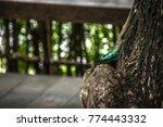 close up blue crested lizard... | Shutterstock . vector #774443332