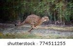 running full speed cheetah  | Shutterstock . vector #774511255