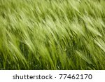 green wheat and windy weather / summer field /  background - stock photo