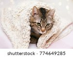 Stock photo gray cat mixed breed wrapped in a bright knitted wool blanket sitting on a light background 774649285