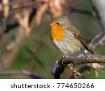 robin   erithacus rubecula  | Shutterstock . vector #774650266