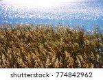 Reeds On The Lake Shore In The...