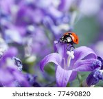 Single Ladybug On Violet...