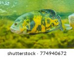 Cute Oscar Fish  Astronotus...