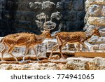 wild gazelle jumping on rocks | Shutterstock . vector #774941065