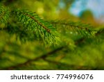 Small photo of branch of pine with dew, pine branch