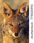 black backed jackal  canis... | Shutterstock . vector #775020592