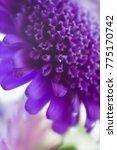 purple macro flower  blurry... | Shutterstock . vector #775170742