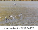 seagulls by the river | Shutterstock . vector #775266196