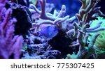 blue chromis  chromis... | Shutterstock . vector #775307425