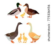 a family of ducks and a family... | Shutterstock .eps vector #775336456