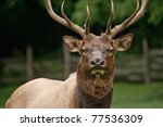 Large Male Bull Elk  Cervus...
