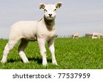 lamb - stock photo
