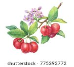 branch of ripe red acerola thai ... | Shutterstock . vector #775392772