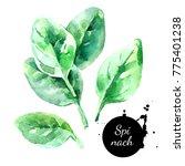watercolor hand drawn fresh...   Shutterstock . vector #775401238