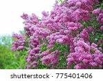 bush of beautiful blooming... | Shutterstock . vector #775401406