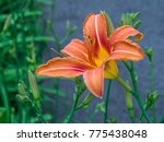 Daylily Orange Flower
