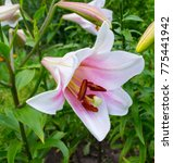 Lilies. Madonna Lily White Lil...