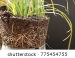the root of the plant is in the ... | Shutterstock . vector #775454755