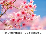 cherry blossom blooming on the... | Shutterstock . vector #775455052