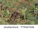 a lapland bunting  calcarius...   Shutterstock . vector #775467436
