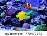 amazing coral reef aquarium... | Shutterstock . vector #775477972
