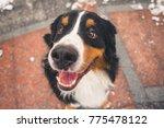 happy bernese mountain dog... | Shutterstock . vector #775478122