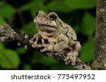 Small photo of Grey Treefrog (Hyla versicolor), Somerset County, NJ