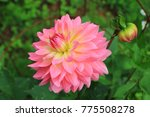 pink dahlia flower close up on... | Shutterstock . vector #775508278