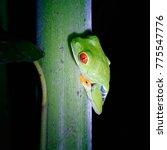 Small photo of Gaudy leaf frog (Agalychnis callidryas) Costa Rica