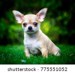 Chihuahua Dog Puppy In The...