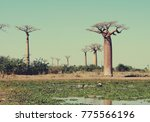 lake in front of baobab trees... | Shutterstock . vector #775566196
