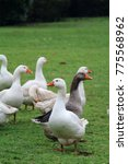 Small photo of Christmas geese waddle across the meadow