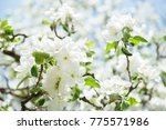 apple blossoms. blooming apple... | Shutterstock . vector #775571986