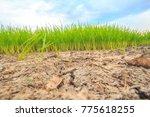 Small photo of Low angle view Rice fields. Dry ground photo cracked Denotes drought There are also small rice seedlings. Come up there, hope is still there. Agriculture.