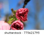 budding cherry blossom  | Shutterstock . vector #775621795
