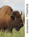 Small photo of American Bison (Bison bison) Grand Teton NP, Wyoming