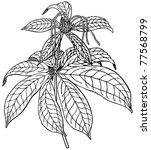 plant paris polyphylla | Shutterstock .eps vector #77568799