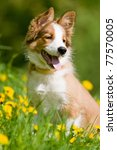 border collie puppy sitting in... | Shutterstock . vector #77570005