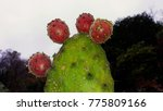 cactus and cactus fruit in... | Shutterstock . vector #775809166