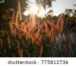 closeup tall grass with sunset... | Shutterstock . vector #775812736