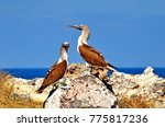 blue footed booby  isla isabel  ... | Shutterstock . vector #775817236