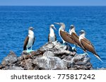 blue footed booby  isla isabel  ... | Shutterstock . vector #775817242