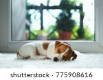 Stock photo jack russel puppy on white carpet small dog sleep in the house 775908616