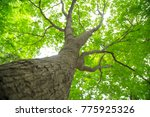 big tree  have green leaves in... | Shutterstock . vector #775925326
